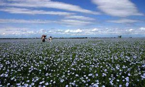 flax-field